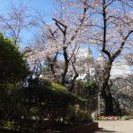 今年も桜は、ちゃんと咲く!